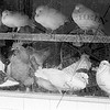 Chickens & Squab For sale