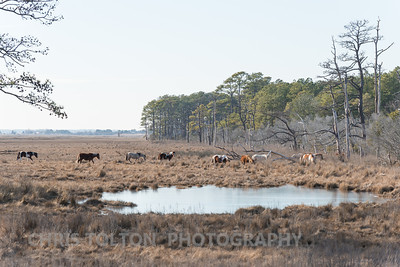 Chincoteague Ponies on an Afternoon Graze
