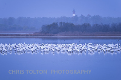 Snow Geese in Afternoon