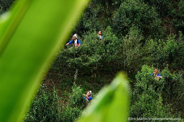 CHINE. ROUTE DU THÉ. YUNNAN. MONTAGNE JINUO. RECOLTE DU THE PU ER. Des femmes de la minorité Jinuo grimpent sur des théiers pour choisir les feuilles les plus tendres. Ces feuilles de vieux théiers semi-sauvages qui poussent au milieu des forêts subtropicales du Yunnan sont les plus réfutées et les plus chères au monde.