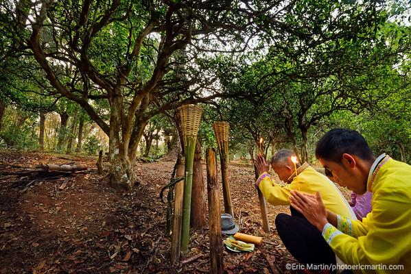 CHINE. ROUTE DU THÉ. YUNNAN. LES MONTS JINGMAI. VILLAGE DE MANGJING. Avant chaque récolte de thé pu'er les villageois de la communauté Bulang prient à la mémoire des ancêtres au pied du plus vieil arbre de la plantation ( ici celle de Cha Ling, la ligne de soin sino-française développée par LVMH)