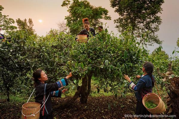 CHINE. ROUTE DU THÉ. YUNNAN. FORET DES MONTAGNES DE JINGMAI.  Des femmes de la minorité Aka cueillent du thé Pu'er dans la forêt où poussent les plus anciens théiers au monde. Elles ne portent le costume traditionnel que le premier jour de la récolte.