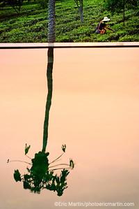 CHINE. ROUTE DU THÉ. YUNNAN.  L'Hotel Bolian Resort & Spa Relais & Chateaux au milieu de ses plantations de thé Pu'er (400 hectares en culture bio ).