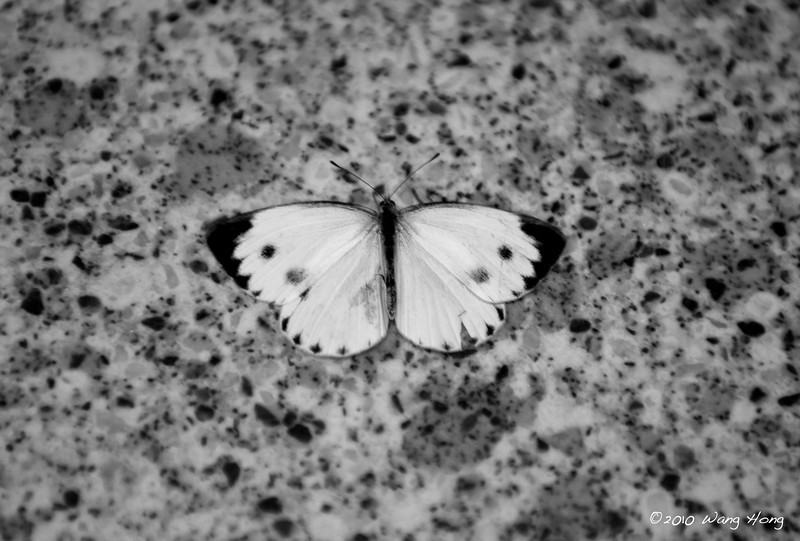 An Indian Cabbage White trapped in the Shueng Wan MTR station.  A sad scene to me knowing that it would not survive the day.