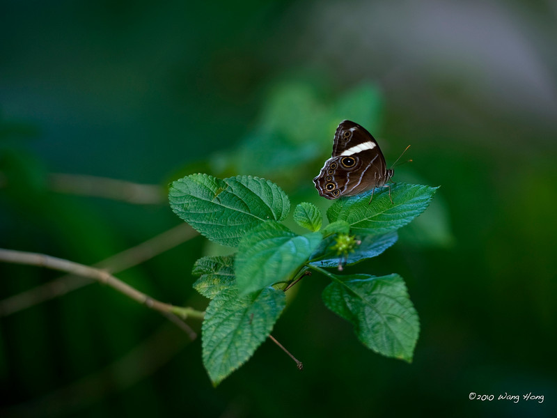 Straight-banded Treebrown at Fung Yuen Butterfly Reserve in New Terriroties, HK