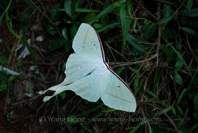 Luna moth (ningpuana Felder) on Lamma Island, Hong Kong