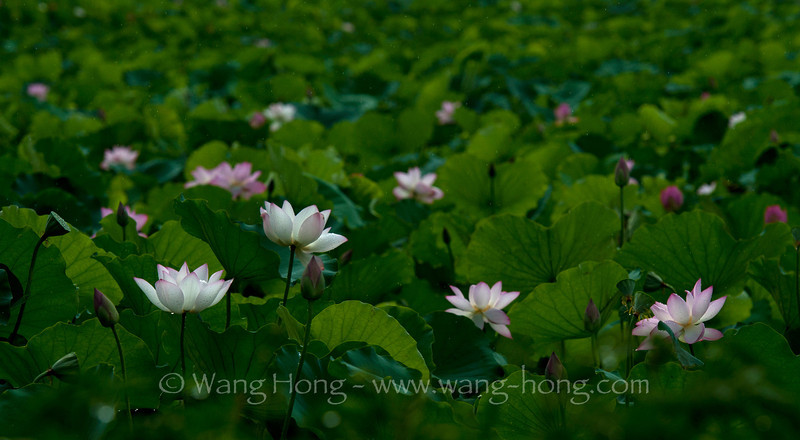 Lotuses in Shenzhen Honghu Park, early morning after rain in early July 2013