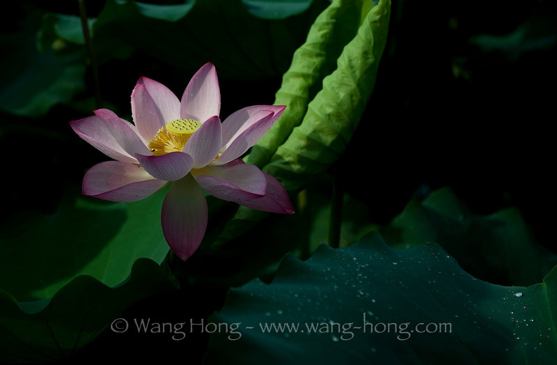 Lotus in Shenzhen Honghu Park, early morning after rain in early July 2013.