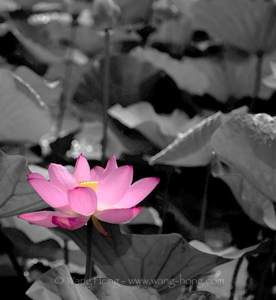 """""""color splash"""" lotus"""