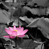 """color splash"" lotus"