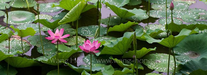 Lotus flowers in Horseshoe Lake at Nankai University, Tianjin in early July