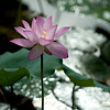 Lotus in Shenzhen Honghu Park, early morning after rain in early July 2013