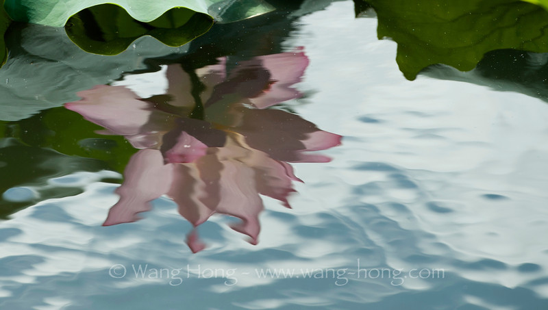 Reflection of a lotus flower in Honghu Park, Shenzhen on a rainy day in late June, 2013.
