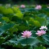 Lotus in summer rain (Shenzhen Honghu Park)