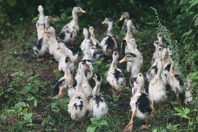 Uciekajace kaczki