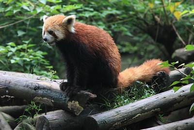 A to Panda Czerwona