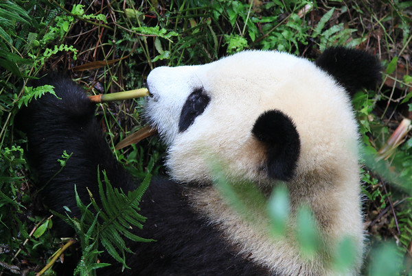 Wielka Panda podczas sniadanio-obiadu-kolacji