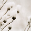 Plant and Snow Detail 2 - Chipman Preserve