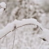 Snow Covered and Arching - Chipman Preserve, MI