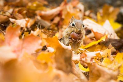 Eastern chipmunk (Tamias striatus), Autumn, on an old stone wall, New England, USA