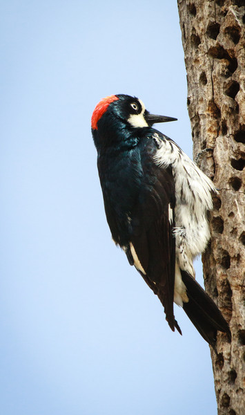 Acorn Woodpecker