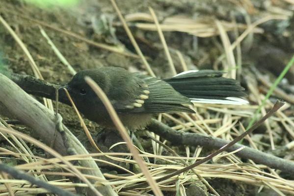 Chiricahua Redstarts