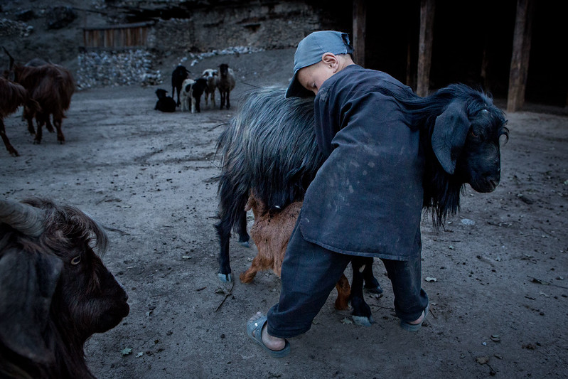 Boy helping baby goat to mothers milk.