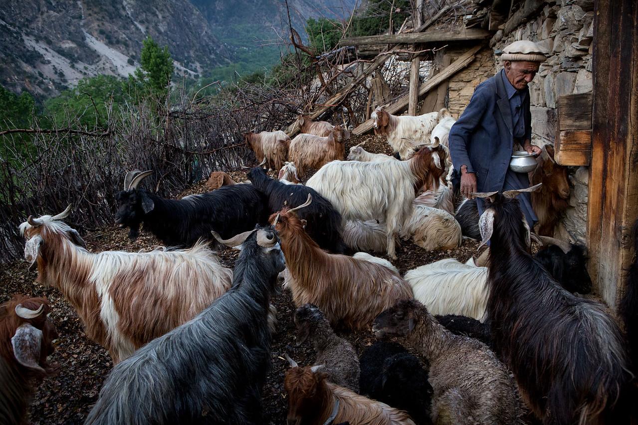 Kalasha man feeding goats.