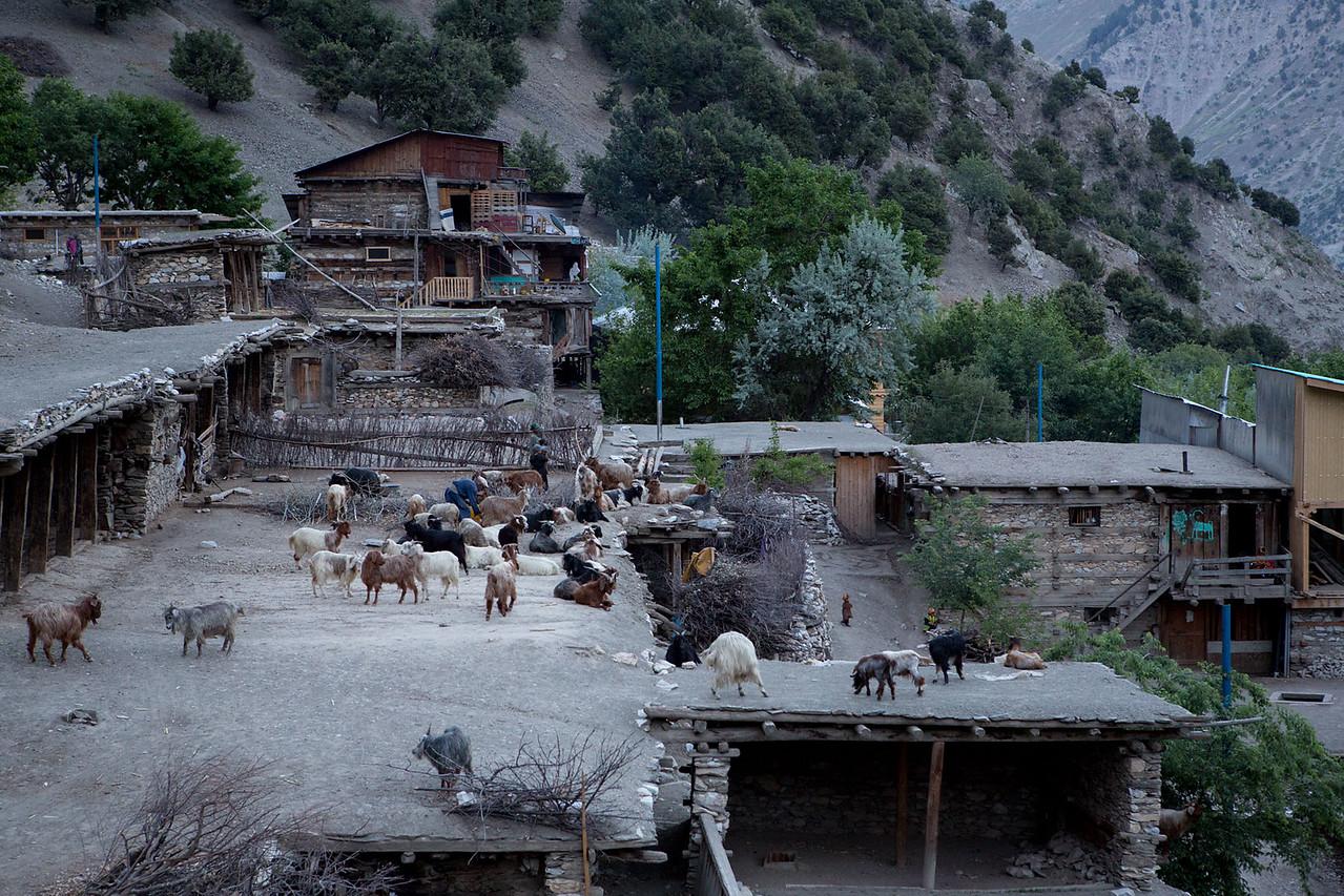 Kalasha man tending goats.