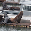 Sea Lions, Oregon
