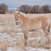 Norwegian Fjord Pony in Montana