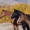 Horses in the Fall, Montana