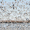 Snow Geese, Bosque del Apache, New Mexico