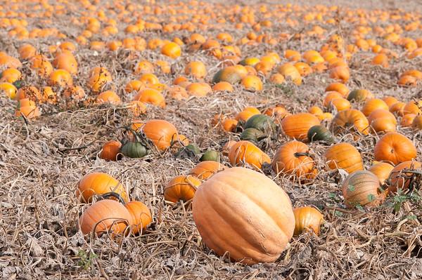 Pumpkin Patch, Weiser, Idaho