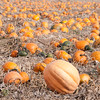 Pumpkin Patch, Weiser, Idaho