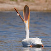 White Pelican, Colorado