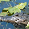 American Alligator, Everglades, Florida