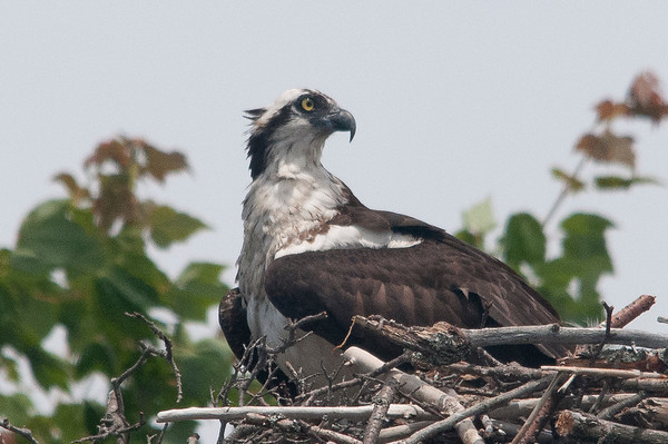 Osprey, Casey Key, Florida