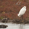 Snowy egret by the waterside in Appalachiacola, FloriPr
