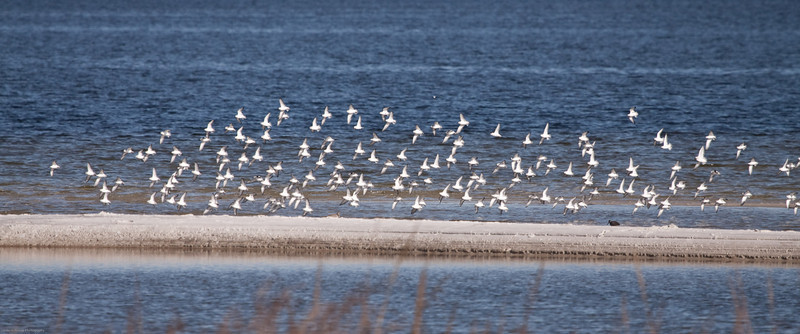 A Flock of Sanderling