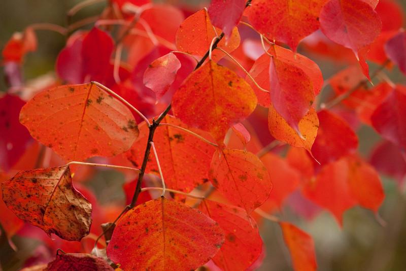 Popcorn Tree leaves