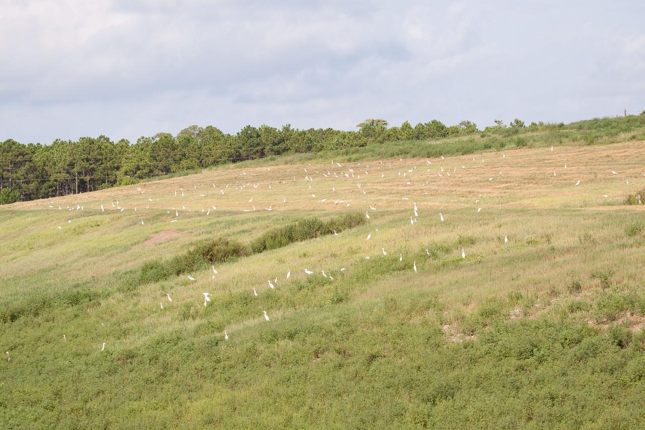 Cattle Egrets on the Hillside