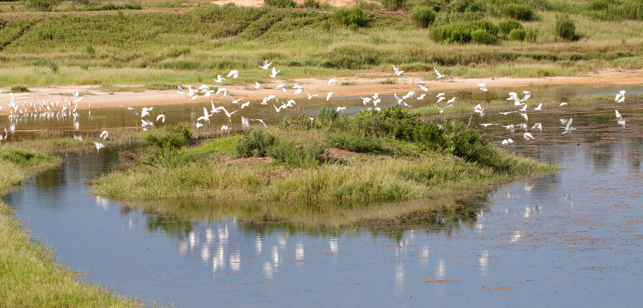 Cattle Egrets flying off the Island