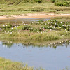 Cattle Egrets on the Island in the pond at the Landfill