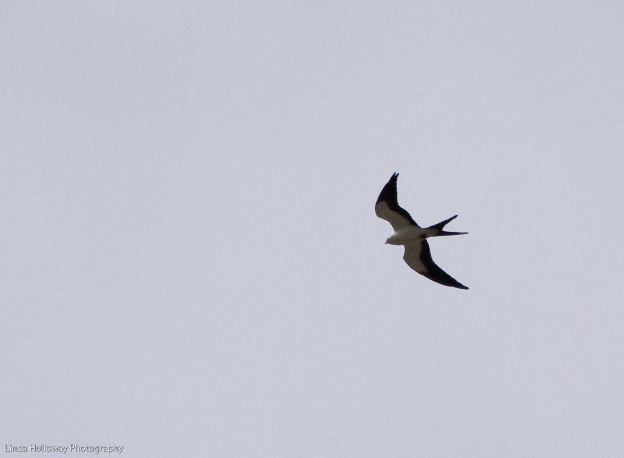 American Swallow -tailed Kite