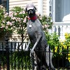 1228 Sealy - Great Dane