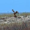 Northern Harrier - Jones Beach, Long Island, New York; April 23, 2016