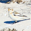 Snow Bunting  - Jones Beach, Long Island, NY; 02/04/17