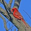 Cardinal - Jamaica Bay, Queens, NY; 5/29/16