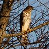 Cooper's Hawk - Jones Beach, Long Island, NY; 12/3/16